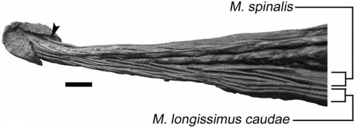 Ossified tendons in Ankylosaurus.png